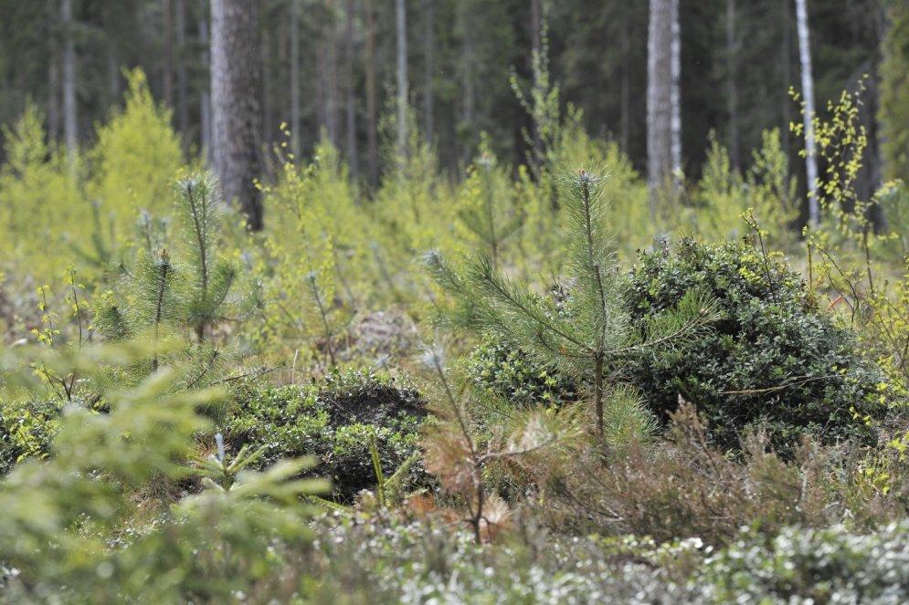 Četras Cūkmena gudrības, kā atklāt meža noslēpumus