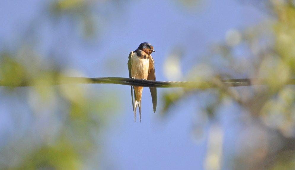 Pārsteidzošie Latvijas putni – interesanti fakti, ko varbūt nezināji