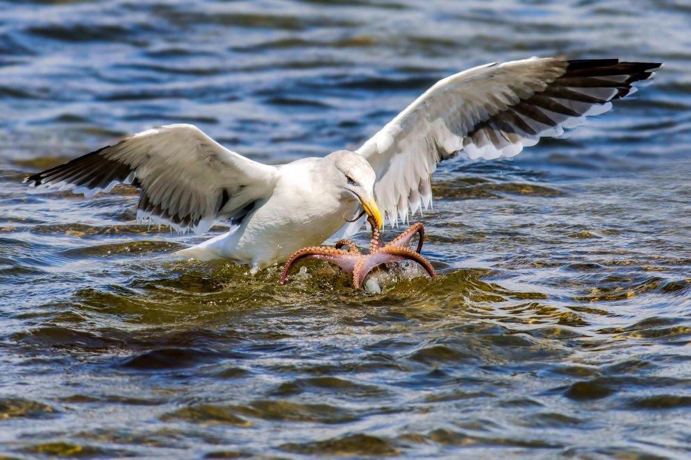 Впечатляющие кадры: голодная чайка атакует осьминога с воздуха