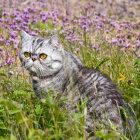 Eksotiskais kaķis