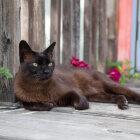 Burmas kaķis