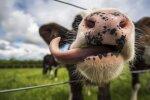Smiltenes novadā no kanalizācijas bedres izceļ govi