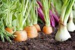 Новая угроза для латвийцев: испанский слизень заражает овощи кишечной палочкой