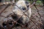 Āfrikas cūku mēris šonedēļ atklāts septiņām mežacūkām Latvijā