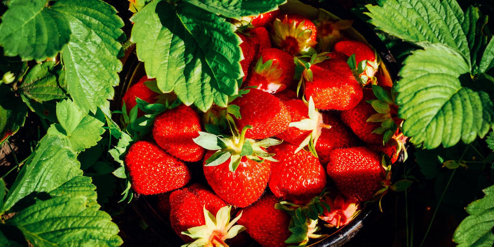 Вкус лета: как вырастить клубнику в саду и дома