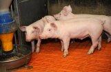 АЧС на ферме в Саласпилсском крае: ликвидации подлежат 10 тысяч свиней