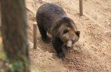 Lāceni Madi varētu izbāzt un glabāt Dabas muzejā vai Līgatnes dabas parkā
