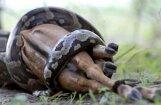 Редкий кадр: питон за 45 минут проглотил антилопу