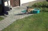 ВИДЕО: Лиса решила зайти в гости к семейной паре в Лапмежциемсе