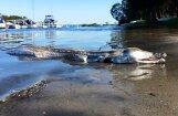 Austrālietis ezera krastā uzgājis baisu radījumu