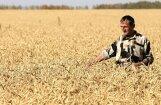 Kviešu cena Latvijā par 5-6% zemāka nekā kaimiņvalstīs