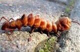 Foto: No dīvaina kāpura līdz krāšņam tauriņam – lasītājs iemūžina pārvērtības dabā