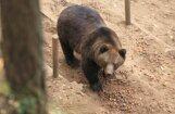 Līgatnes lāčus turpina iepazīstināt ar transportēšans būriem