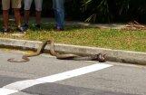 ВИДЕО: Схватка сетчатого питона и королевской кобры длилась полчаса