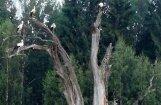 Foto: Stārķu koks Madonas šosejas malā