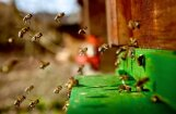 Slimnīcās nonāk šogad pirmie bišu sadzeltie cilvēki