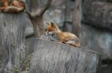 Ar meža dzīvnieku atrašanos Rīgā būšot jārēķinās arī turpmāk