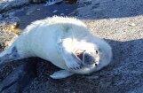 ФОТО, ВИДЕО: На Мангальсале на берег выбрался улыбающийся тюлененок
