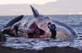 Foto: Pie Skotijas izskalots milzīga vaļa līķis