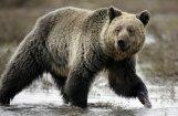 Под Елгавой замечен медведь: советуют не отпускать собак и не паниковать при встрече
