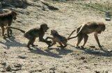 В Ливии обезьяна спровоцировала кровавую бойню между племенами