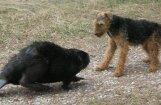 Бобр атаковал собак