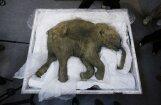 Dāņu zinātnieks atklāj, kāpēc izmira mamuti