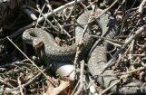Divus cilvēkus piektdien sakodušas čūskas