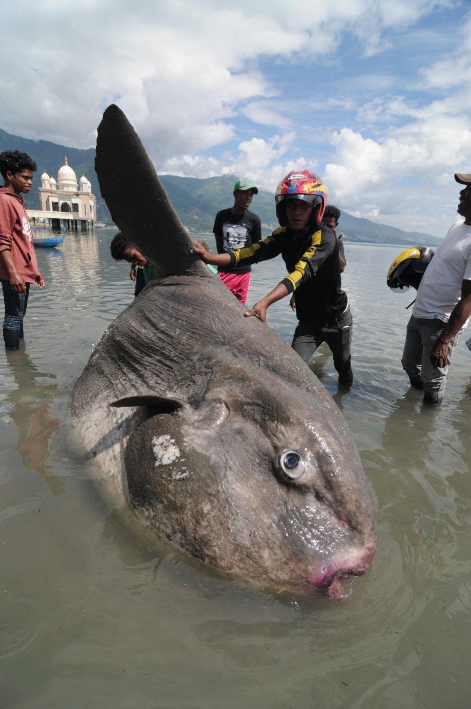 Pie Indonēzijas krastiem izskalots ļoti rets jūras 'monstrs'