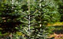 Наложен запрет на рубку елок в лесах Рижского самоуправления