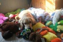 Foto: Neofīle Mohito – apķērīga suņu meitene, kura uz gultu stiepj rotaļlietas