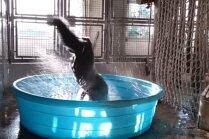 Video, kas sajūsmina pasauli: gorilla griež danci ūdens bļodā