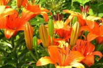 Лилии: восемь мало кому известных фактов про королевские цветы