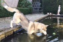 Video: Haskijs neatlaidīgi mēģina 'izzvejot' bumbiņu no baseina