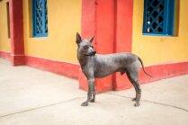 Īpatnējais mīlulis, kas sildījis inku gultas – peruāņu kailais suns