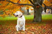 Labradori ir pakļauti aptaukošanās riskam, liecina pētījums