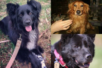 Pēdējā no astoņiem 'bēdubrāļiem': mājas meklē Pūka un divi suņi, kas klaiņoja pa ielām