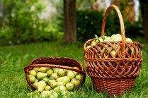 Bumbieru raža: kā uzglabāt ziemai sulīgos augļus