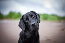 Par 99 procentiem paredzams suns. Kas ir kanisterapija un kāpēc mīluļi var palīdzēt cilvēkiem