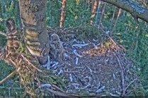 Video: Ūpēns izslīd no ligzdas un sabiedē brālīti