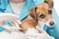 Vai čipēšana var kaitēt sunim, kuram ir veselības problēmas?