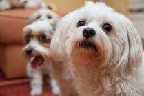 Bišonu 'piecīši' – valdzinoši suņuki, kuri nezinātājam šķitīs vienādi