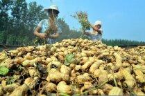 Foto: Zemesriekstu ražas vākšana Ķīnā