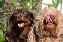 Labāk izvēlēties šķirnes suni vai jauktenīti?
