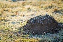 Kurmja rakumi dārzā: ko ar tiem iesākt, lai saglabātu zālienu