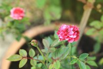 Interneta sensācija: vai iespējams no grieztā zieda izaudzēt rožu stādu