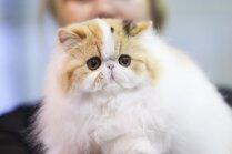 Foto: Rīgā notikusi šogad pirmā starptautiskā kaķu izstāde