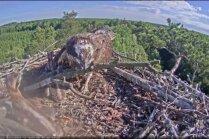 Video: Zivjērgļu mamma uz ligzdu atnes zaru un to ieriktē virs mazuļa