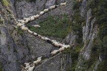 Foto: Simtiem aitu dodas spēku pārbaudē kalnos