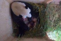 Rets gadījums Vīnes zoodārzā – pandu māmiņai piedzimuši dvīņi